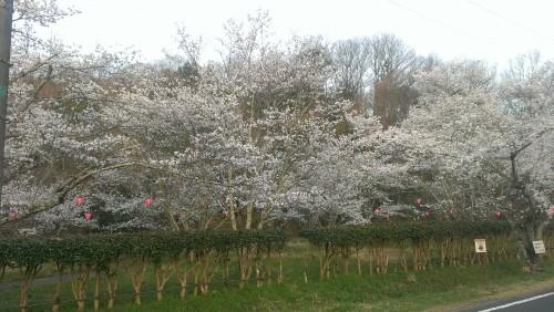 相原公園の桜
