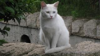 白いネコを発見!!左右の目の色が違う不思議:オッドアイ