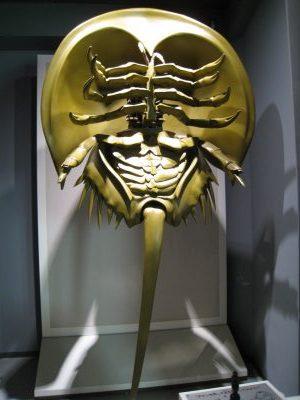 カブトガニの模型