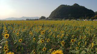 笠岡ベイファームでの様子、ひまわりフォトが綺麗に撮れた(井笠つーしんフォト)<大駐車場やバスの停留場が完備>