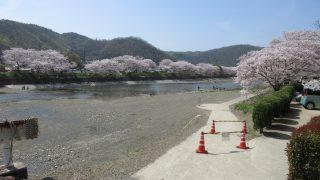 今年も春の季節を感じれる桜をみてきました。桜の名所の井原堤は桜満開!!良かったです【井原市】
