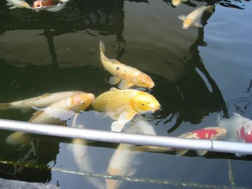 郷土美術館の鯉