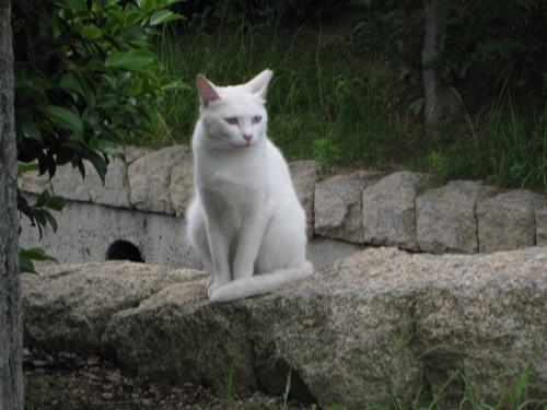 白い猫 オッドアイ