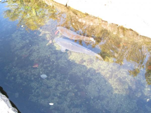 田中苑の鯉