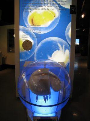 カブトガニの生態模型