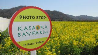 もう、見に行った・・・道の駅笠岡ベイファームに菜の花が見事に咲いているぞー!!笠岡市【観光名所】